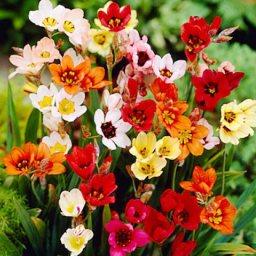 Sparaxis çiçekleri