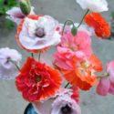 Bahçe süs gelincikleri