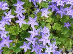 Campanula garganica (yıldız çiçekli maviş)