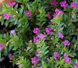 Kufeya bitkisinin ince dalları, yaprakları ve çiçekleri