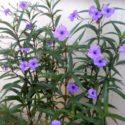 Meksika petunyası çiçekli dalları
