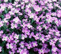 Obrizyanın çiçekleri