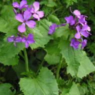 Sedef çiçeği yaprakları ve çiçekleri