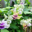 Selluka çiçekleri