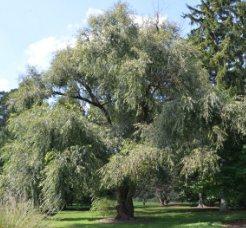 Ak söğüt ağacının uzaktan görünümü