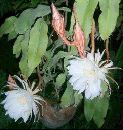 Bir gecelik gelin çiçeği