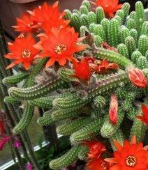 Echinopsis chamaecereus kaktüsü, yetiştirilmesi, bakımı, özellikleri ve çoğaltılması