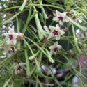 Hoya retusa çiçekleri ve yaprakları