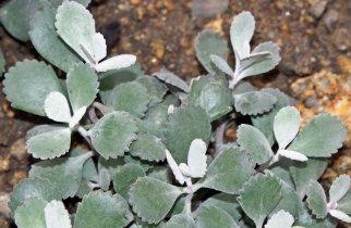 Kalanchoe pumila özellikleri, yetiştirilmesi, bakımı, çoğaltılması hakkında