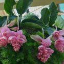 Medinilla magnifica yetiştirilmesi, bakımı, çoğaltılması ve özellikleri