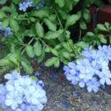 Mavi yasemin özellikleri, yetiştirilmesi, bakımı ve çoğaltılması hakkında bilgiler