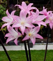 Amaryllis belladonna, yetiştirilmesi, bakımı ve özellikleri