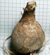 Amaryllis belladonna soğanının görünümü