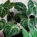 Anthurium crystallinum bitki türünün özellikleri ve yetiştirilmesi hakkında bilgiler