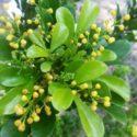 Aglaia odorata, Çin parfümü çiçeği hakkında yetiştirme ve bakım bilgileri