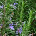 Biberiye bitkisinin özellikleri, yetiştirilmesi, bakımı ve çoğaltılması hakkında bilgiler