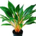 Chlorophytum amaniense 'Fire Flash' Turuncu kurdele çiçeğinin özellikleri, yetiştirilmesi ve bakımı