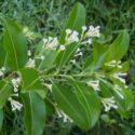Cestrum diurnum, çikolata kokulu melisa bitkisinin özellikleri ve yetiştirilmesi, bakımı bilgileri
