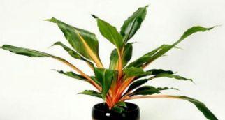 Chlorophytum amaniense 'Fire Flash' Turuncu kurdele çiçeği