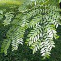 Gladiçya ağaçları hakkında bilgi
