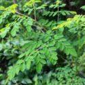 Moringa oleifera bitki türünün özellikleri ve yetiştirilmesi hakkında bilgiler