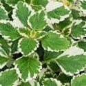 Plectranthus madagascariensis 'Lynne' bitkisinin yetiştirilmesi, bakımı ve çoğaltılması hakkında bilgiler