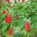 Malvaviscus arboreus, Türk fesi çiçeğinin yetiştirilmesi ve bakımı hakkında